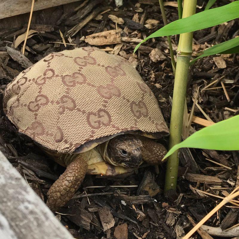 Fancy Turtle, 2017